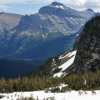 Big Horn Sheep at Logan Pass 1