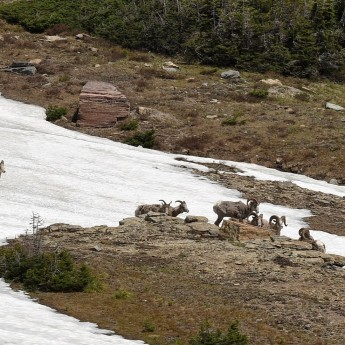 Big Horn Sheep at Logan Pass