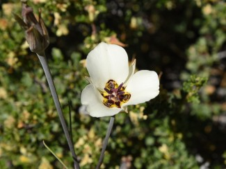Bruneau's Mariposa Lily