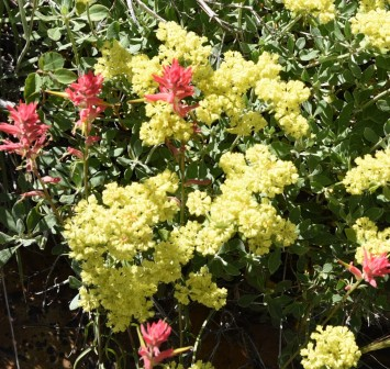 Eriogonum umbellatum v. nevadense and Indian Paintbrush
