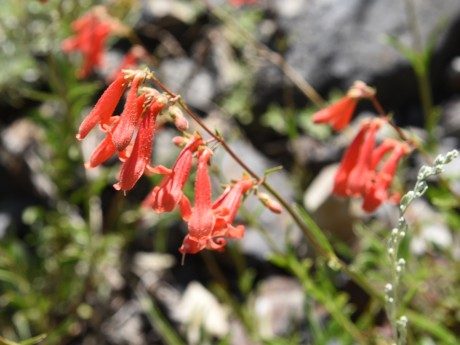 Bridge's Penstemon