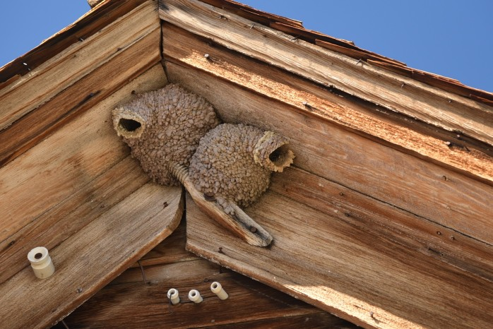 Bodie 26 Swallow Nests