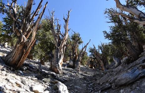 bristlecone-pine-group-2