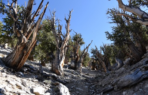 bristlecone-pine-group-2