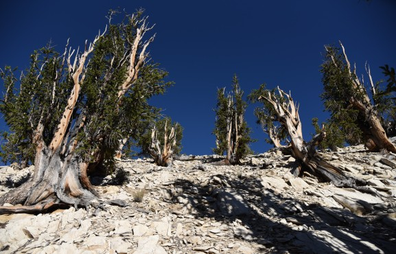 bristlecone-pine-group-3
