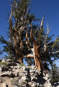 bristlecone-pine-group-4