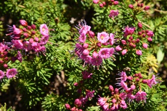 Phyllodoce breweri (Purple Mountainheath)