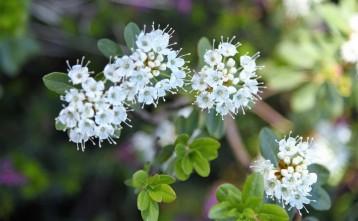 Rhododendron columbianum (Western Labrador Tea)