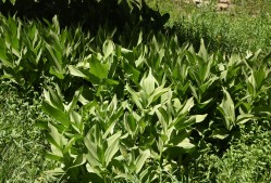 Veratrum californicum Corn Lily