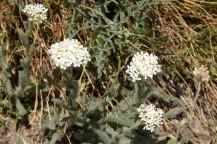 Achillea millefolium Yarros