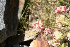 Calyptridium monospermum One-seeded Pussypaw