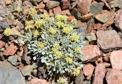 Eriogonum rosense var. rosense