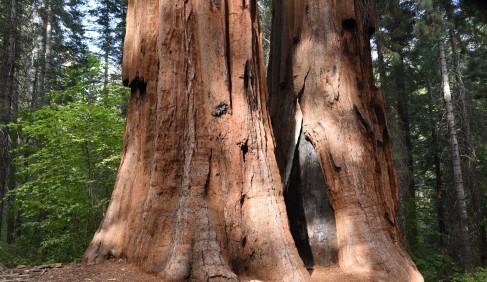 merced-grove-trunks