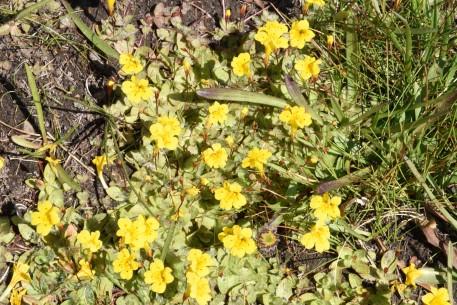 Mimulus species Monkeyflower