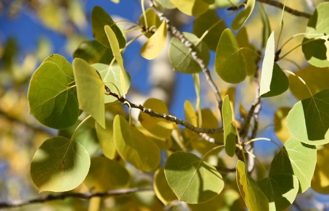 aspen-starting-to-turn-yellow