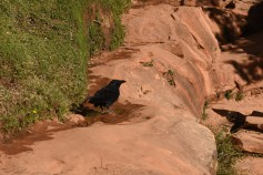 This raven was taking advantage of a small pool of water along the trail :)