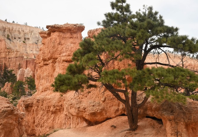 Sweet pine along trail