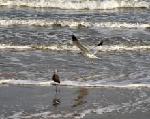 gull-and-willet