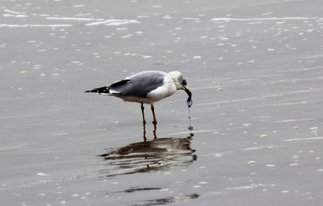 gull-eating-man-o-war