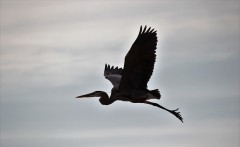 heron-flying-silohette