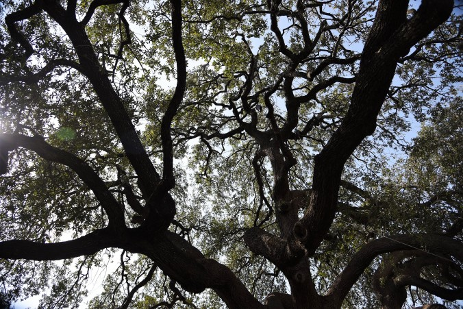 live-oak-at-alamo