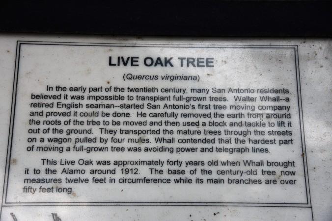 live-oak-sign-at-alamo