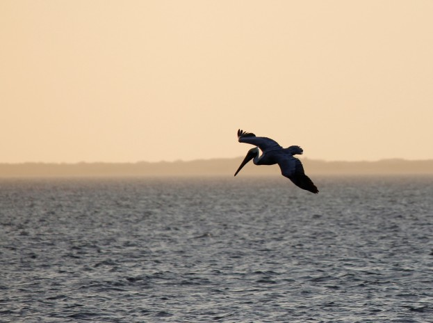 pelican-2-over-laguna-madre