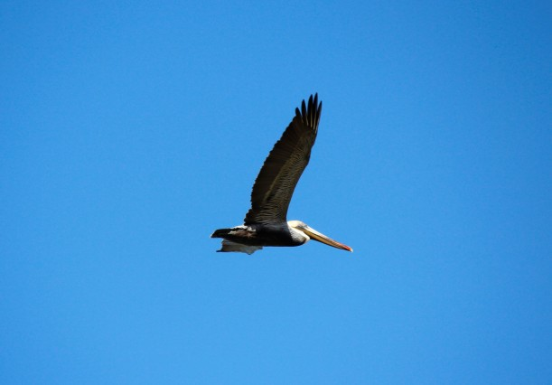 Pelican 3 over Laguna Madre.jpg