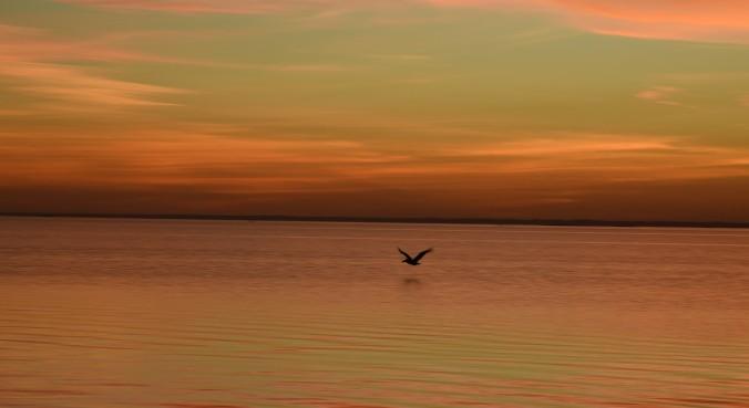 pelican-on-laguna-madre