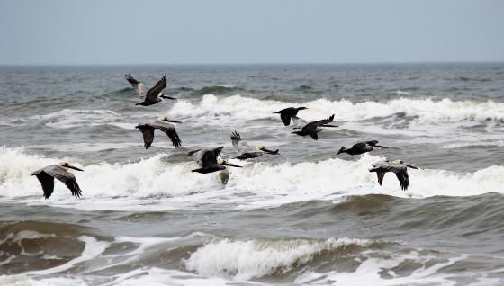 pelicans-flying-2