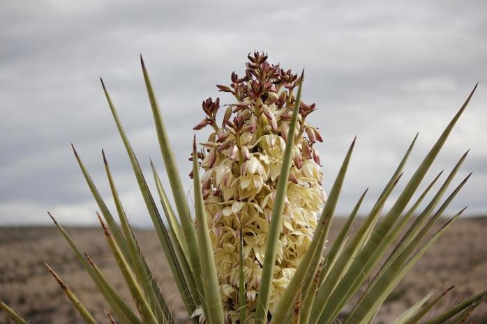 torrey-yucca