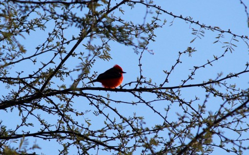 vermillion-flycatcher