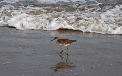 willet-on-south-beach