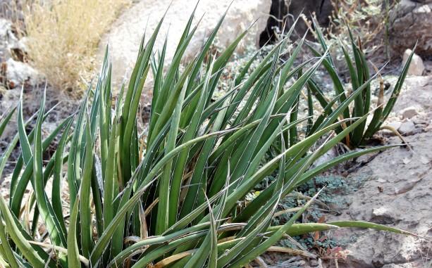 2-agave-lechuguilla
