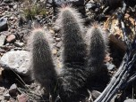 Cactus - not sure which one!!