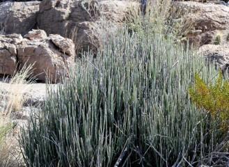 Euphorbia antisyphillitica Candelilla