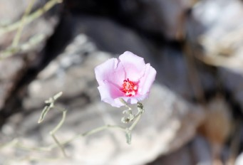 Hibicus denudatus Paleface Rosemallow