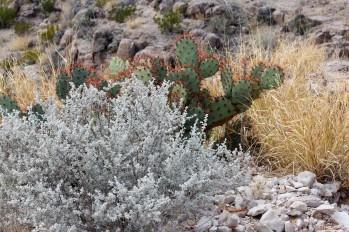 Leucophyllum minus Big Bend Silverleaf