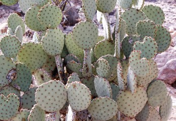Opuntia rufida Blind Prickly Pear