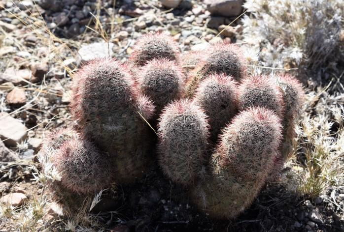 texas-rainbow-cactus-echinocereus-dasyacanthus