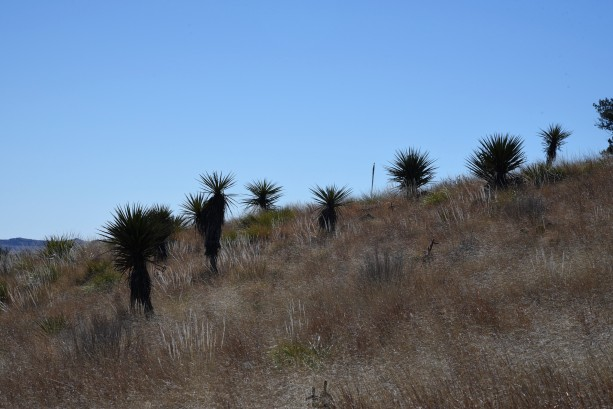 yuccas-on-trail