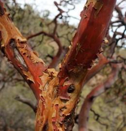 Arbutus texana Texas Madrone 2014