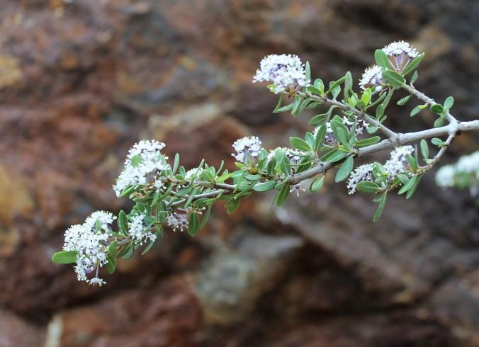 Ceonanthus greggii Buckthorn 2