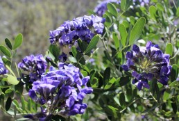 Dermatophyllum Secundiflorum Texas Mountain Laurel