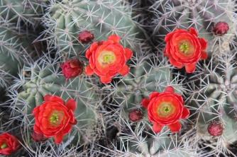 Scarlet Hedgehog Cactus 2014