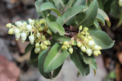 Texas Madrone flowers in March 2014