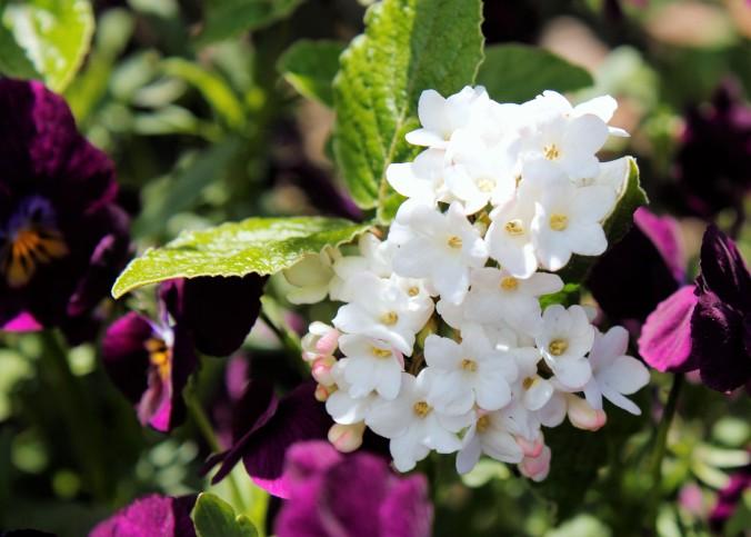 viburnum-and-pansies