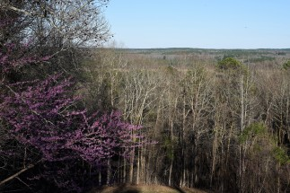 Redbuds blooling on top of Little Mountain Trail