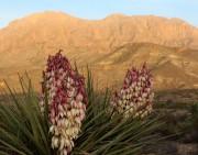 Yucca torreyi Spanish dagger or Torreys Yucca