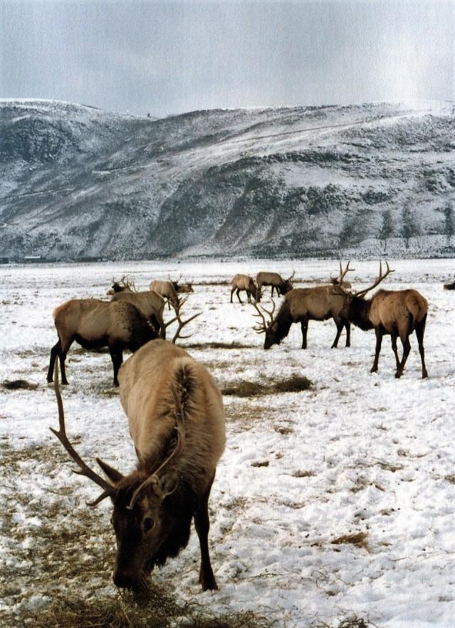 Elk Refuge Tetons 1981